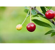 Cherries on the branch  Photographic Print