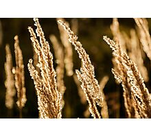 Grass spikelet on the field at sunset Photographic Print