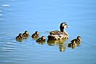 Moma Mallard and her Baby Ducklings by Carla Jensen