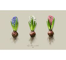 Hyacinthus orientalis in three shades Photographic Print