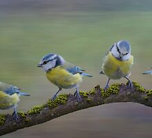 Four Little Tits - Composite by M.S. Photography/Art