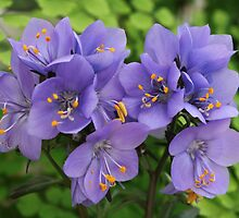 Polemonium - Jacobs Ladder by AnnDixon