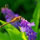 Meadowhawk on Purple Vetch by Bill Morgenstern