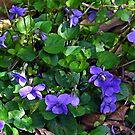 Sweet Violets in the garden, Lyme Dorset UK by lynn carter