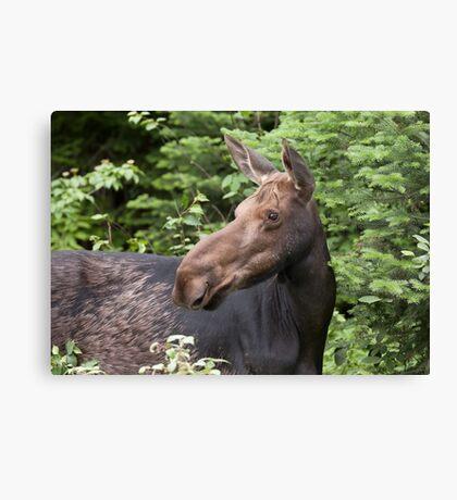 Moose close-up - Algonquin Park Canvas Print