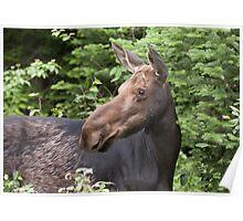 Moose close-up - Algonquin Park Poster