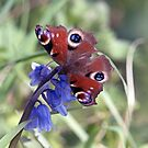 Peacock Butterfly on Bluebell by Chris Monks