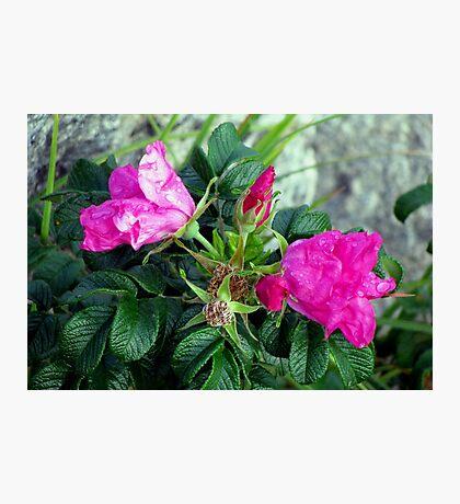 Rambling Rose Photographic Print
