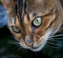 Beautiful Bengal Cat Observing Something by Mythos57