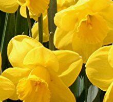 Yellow Daffodil flowers Sticker