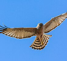 Spotted Harrier, full spread. by James Peake Nature Photography.