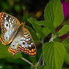 Winged Beauty  by John  Kapusta