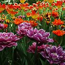 Tulip smiles by MarianBendeth