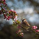 A sparrow in spring bloom by LudaNayvelt