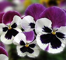 Rose Wing Pansies  by BlueMoonRose