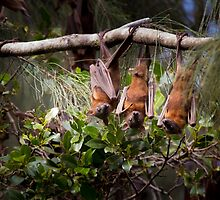 Little Red Flying Foxes 3 by Carolyn Boyden
