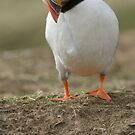 Puffin by sandyprints