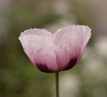 Pink Poppy 2 by Deborah McGrath