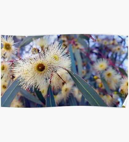 Eucalyptus Blossoms Poster