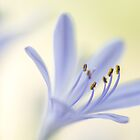 Agapanthus by Nicole Bechaz