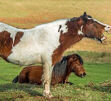 Piebald Horse Laughing by Nick Jenkins