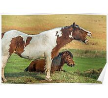 Piebald Horse Laughing Poster