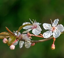Spring Blossom by Nick Jenkins