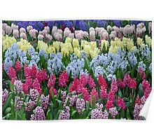 Colorful hyacinth garden Poster