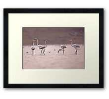 A flock of Greater Flamingo (Phoenicopterus roseus) in a water pool.  Framed Print