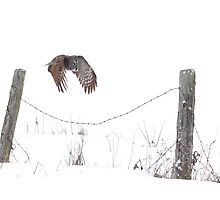 Post to Post - Great grey owl by Jim Cumming