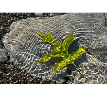 Green Sunshine - a Jade Colored Oak Leaf on the Rocks Photographic Print