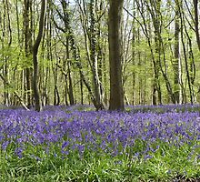 Bluebell Wood by Gill Langridge