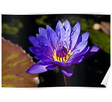 Upbeat Violet Elegance - the Beauty of Waterlilies Poster