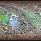 White-throated Sparrow  by Deb  Badt-Covell