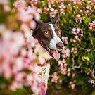 Border Collie Blooms by laruecherie