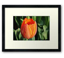Tulip in the Morning Sun Framed Print