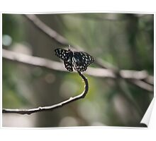 Open winged Butterfly Poster