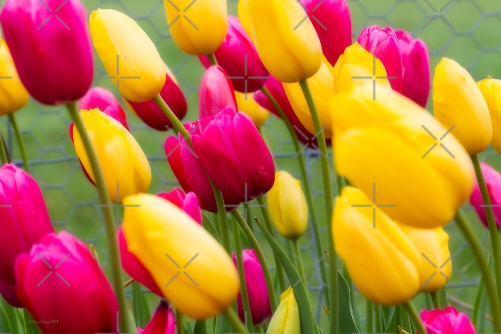 Tulips in the Breeze #2 by Elaine Teague