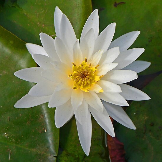 White Waterlily by Margaret  Hyde
