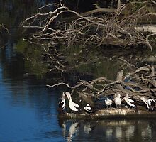 Pelicans at Big Bend Murray River by outbackjack