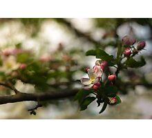 Apple tree flower Photographic Print