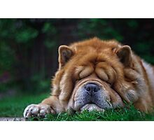 Cuddly - chow-chow dog Photographic Print