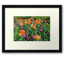 Colorful Tulip Display Framed Print