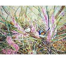Fairies in the bush - Hakea Multineata Photographic Print