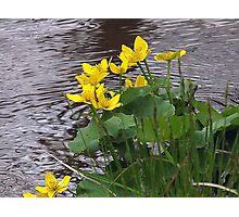 Marsh Marigolds Photographic Print
