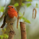 Robin Redbreast by Paul Bettison