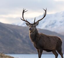 Red Deer Stag in Highland Scotland by derekbeattie