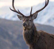 Red Deer Stag in Highland Scotland Sticker