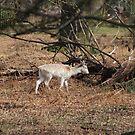 Deer  by Jonesyinc