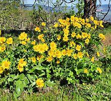 Balsamroot in Bloom  by Don Siebel